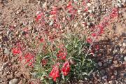 Wüstenblume 3.jpg