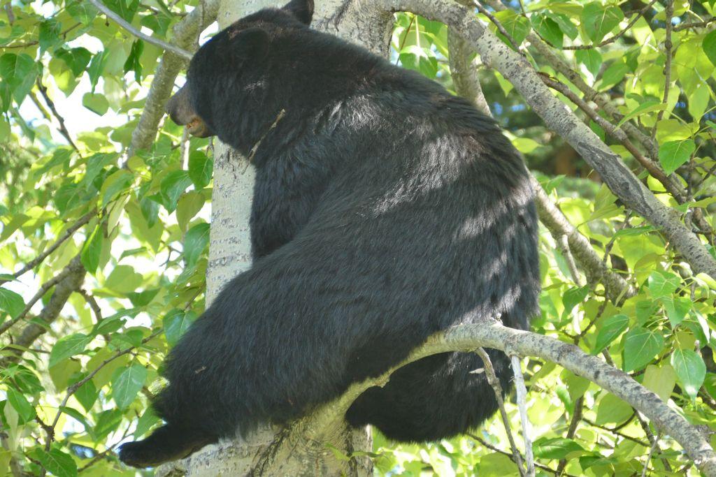 Bär auf Baum 1