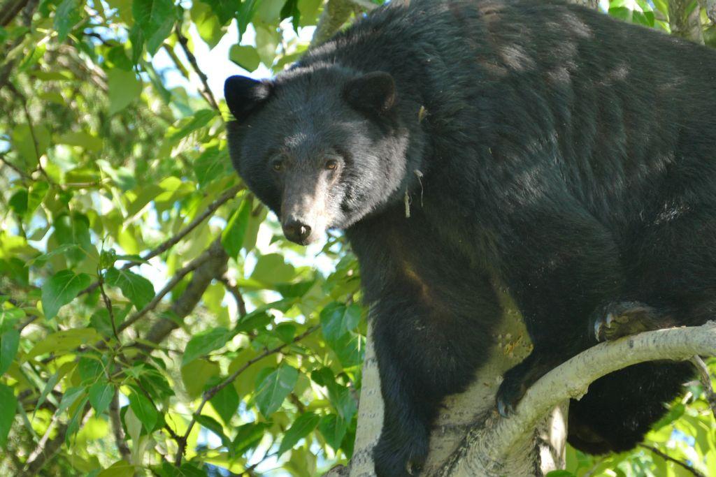 Bär auf Baum 2