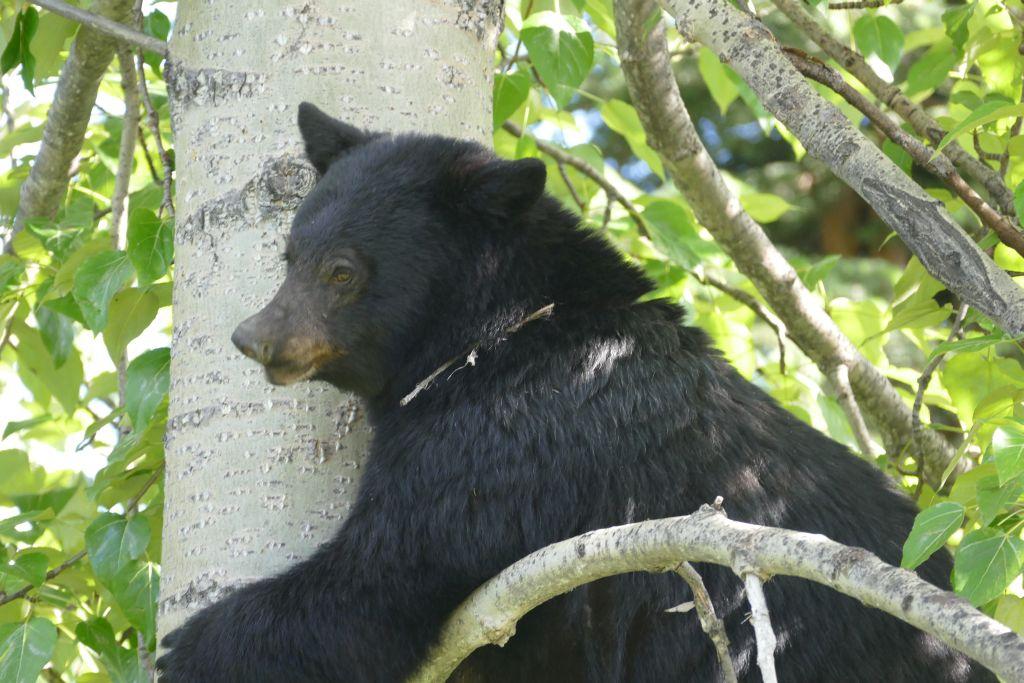 Bär auf Baum 3