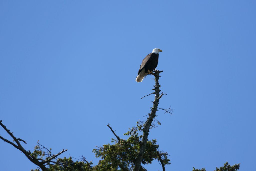 Weisskopfseeadler 2
