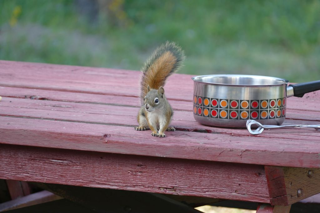 Squirrel an Teepfanne 1