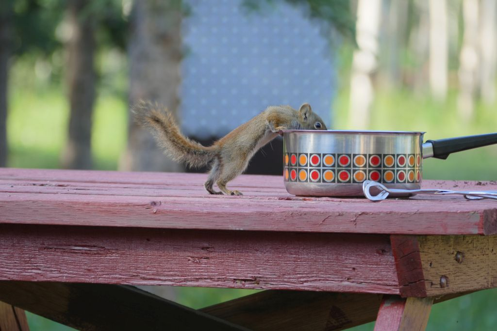 Squirrel an Teepfanne 2