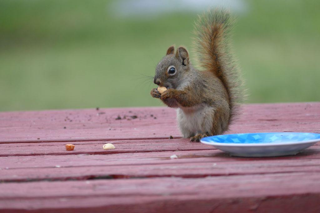 Squirrel mit Nüssli 1