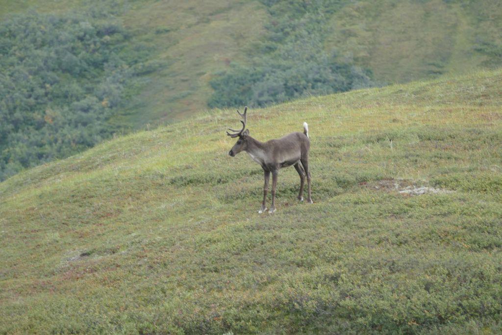 Denali Caribou 1