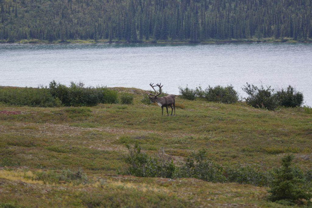 Denali Caribou 2