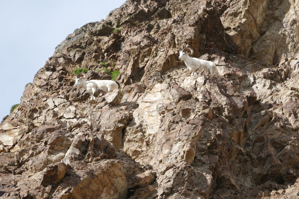 Denali Dall Sheep 2