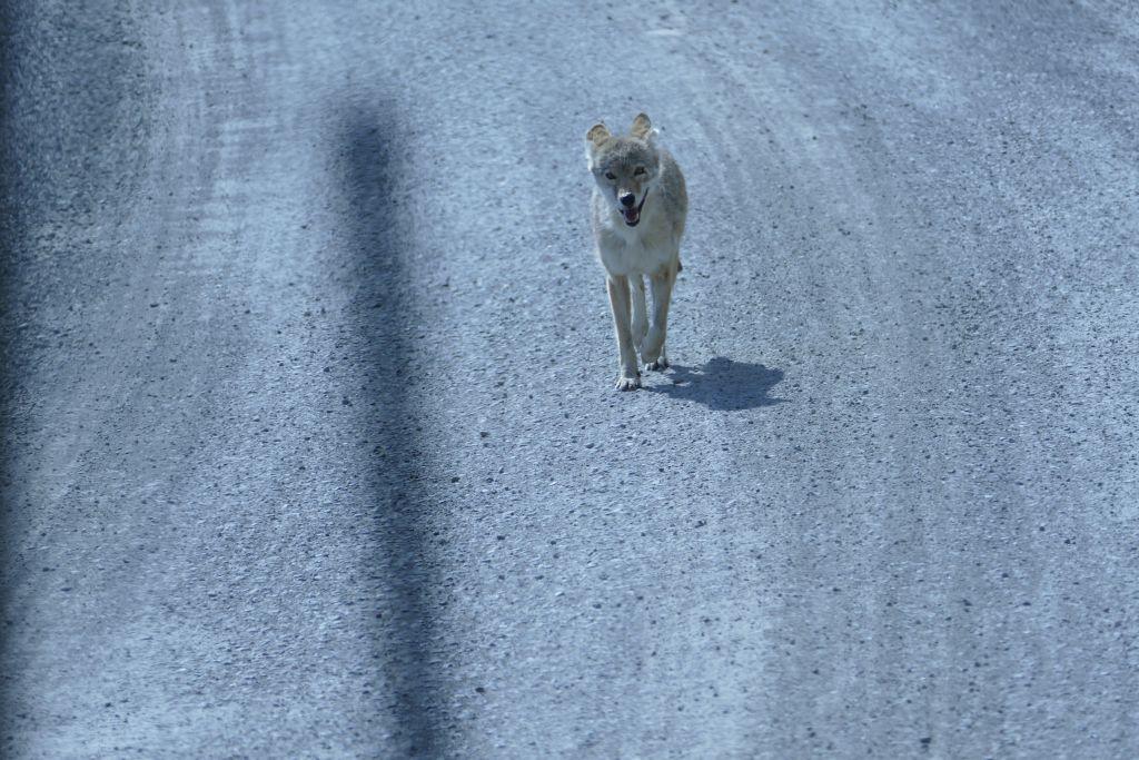 Denali - Junge Kojote