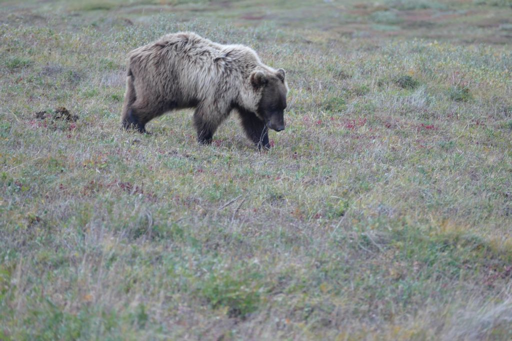 Grizzly 1