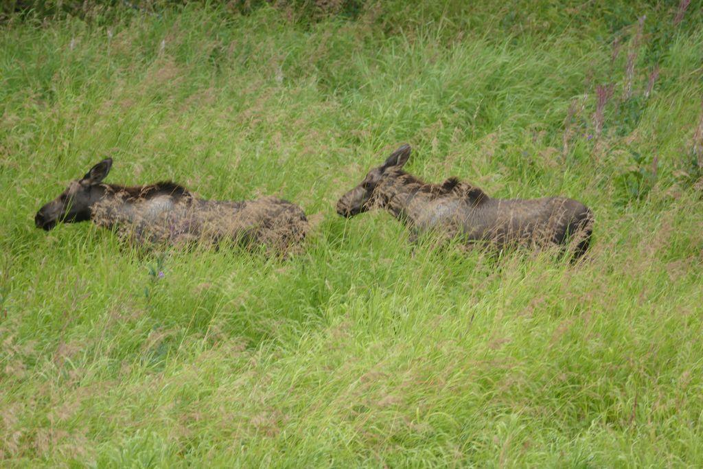 Hatcher Pass - Elch Nachwuchs