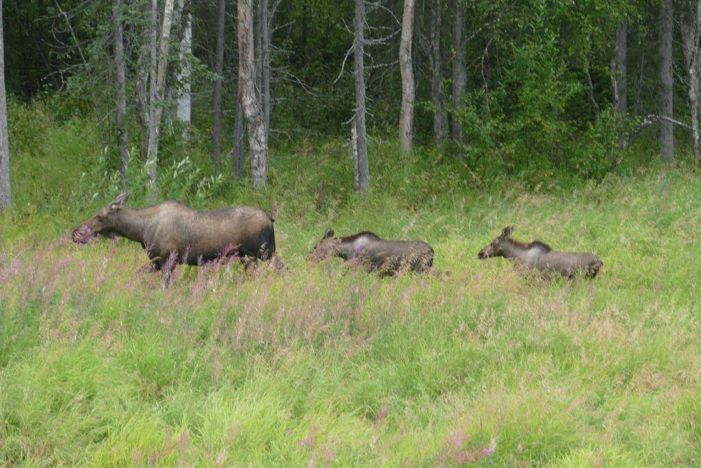 Hatcher Pass - Elch mit zwei Jungen