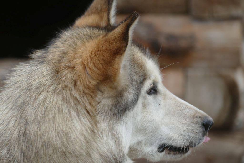 Schlittenhund 1