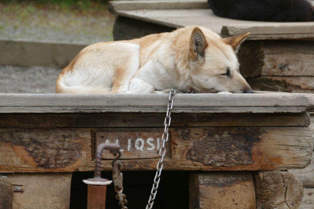 Schlittenhund 2