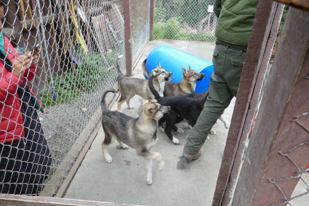 Schlittenhund 3
