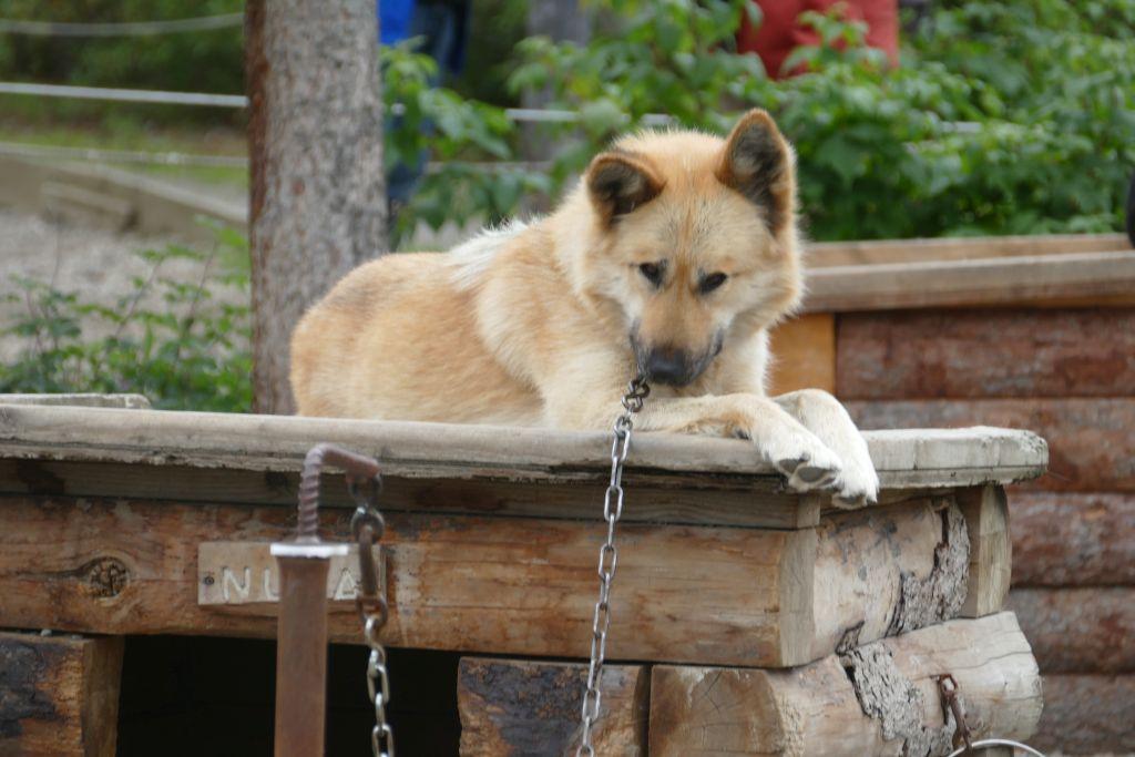 Schlittenhund 4
