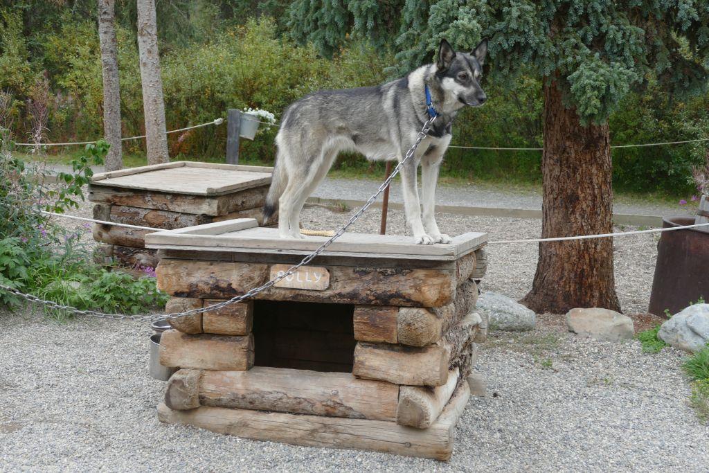 Schlittenhund 5