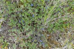 Blueberry am Eagle Hwy