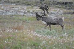 Deadhorse Caribou 1