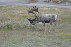 Deadhorse Caribou 2