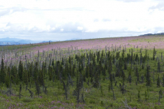 Eagle Hwy mit Fireweed 2
