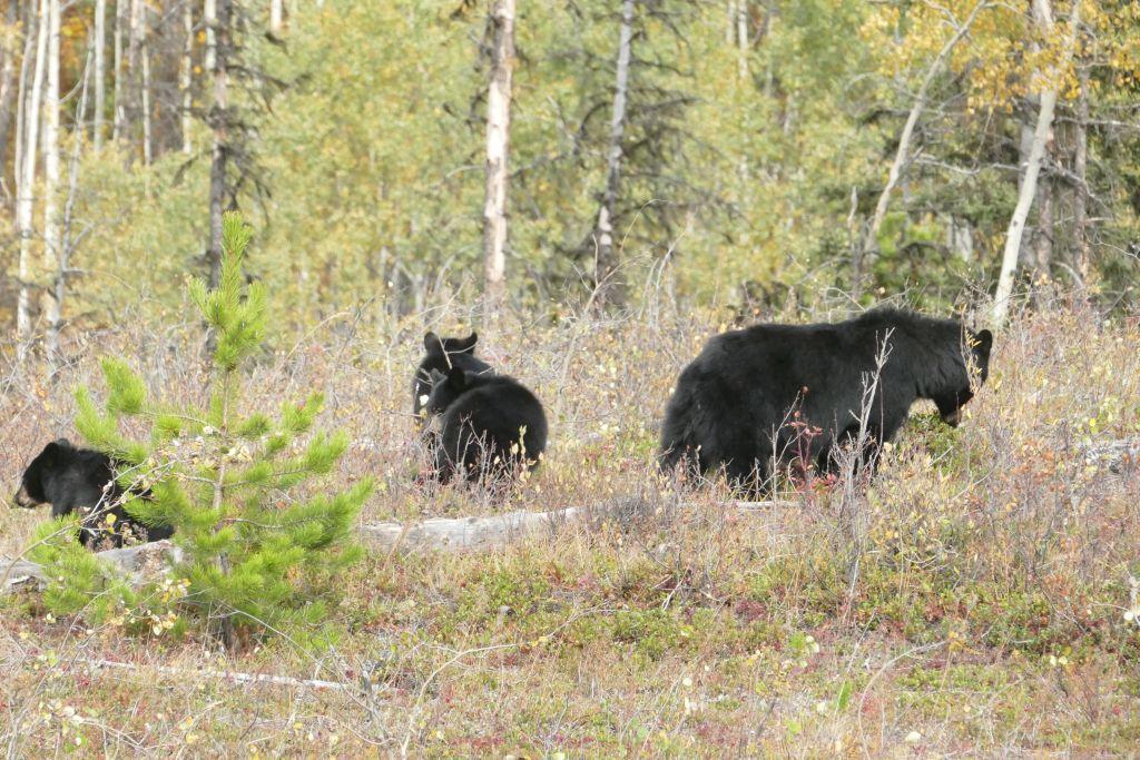 Bärenmutter mit 3 Jungen