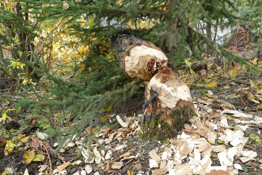 Gefällter Baum vom Biber