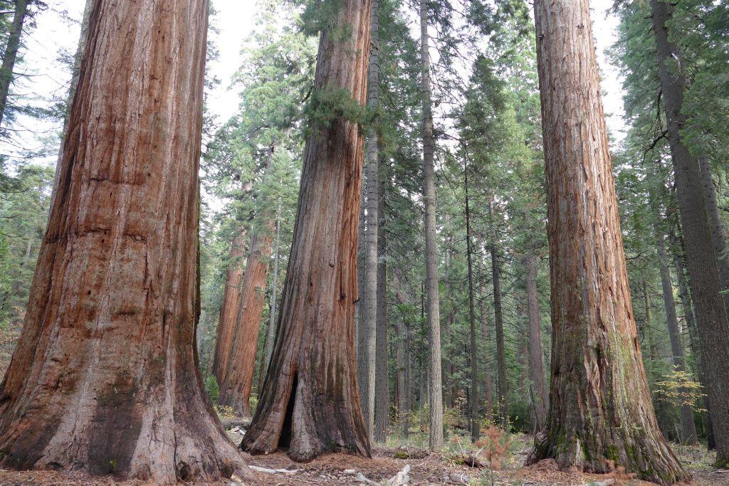 Sequoia Bäume 4