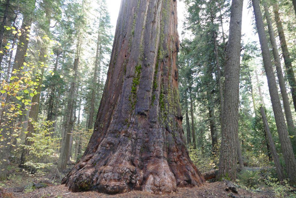 Sequoia Bäume 2