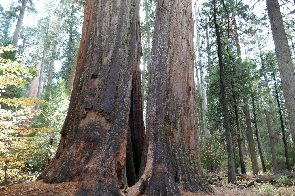 Sequoia Bäume 3