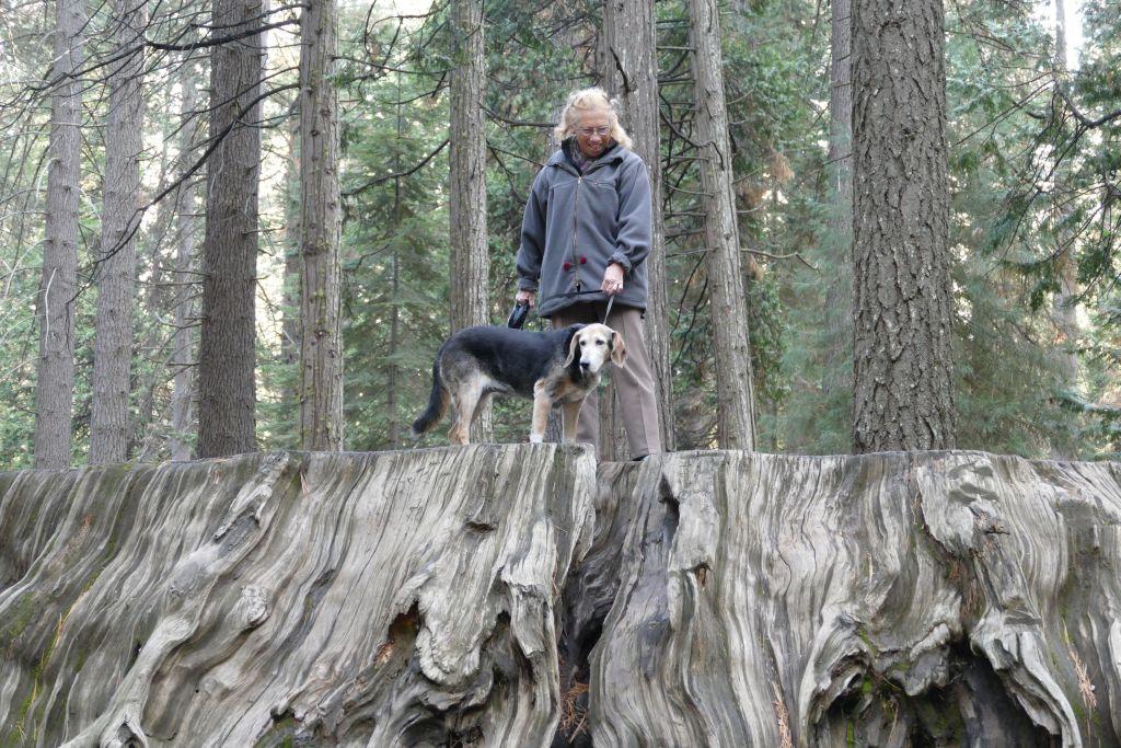 Sequoia Bäume 6