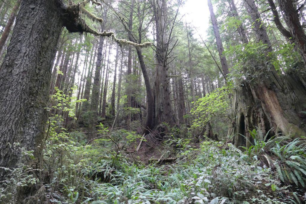 Urwald Redwood