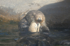 Seeotter 1