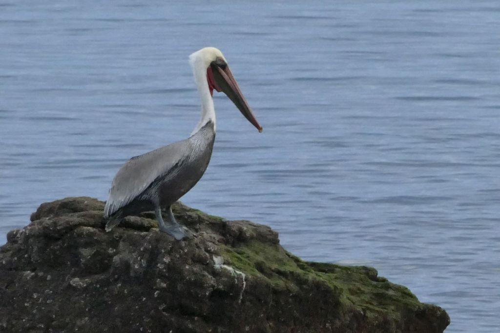 Bahia de los Angeles Pelikan 3