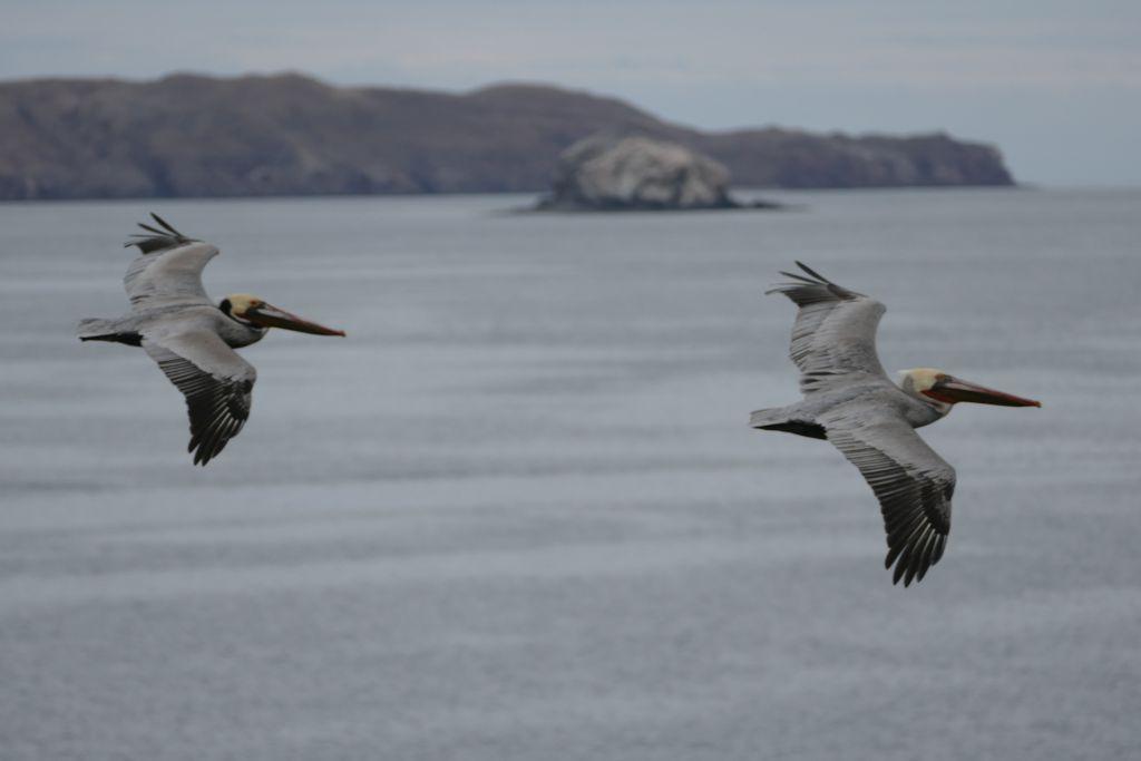 Bahia de los Angeles Pelikane im Flug