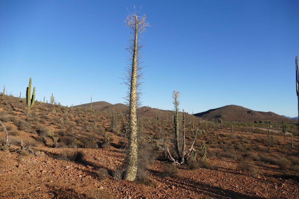 Kaktus Landschaft Cirio = Altarkerze