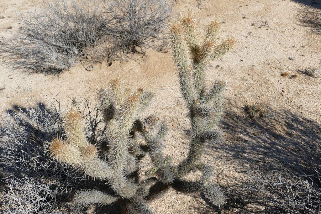 Kaktus Landschaft Jolla Kaktus