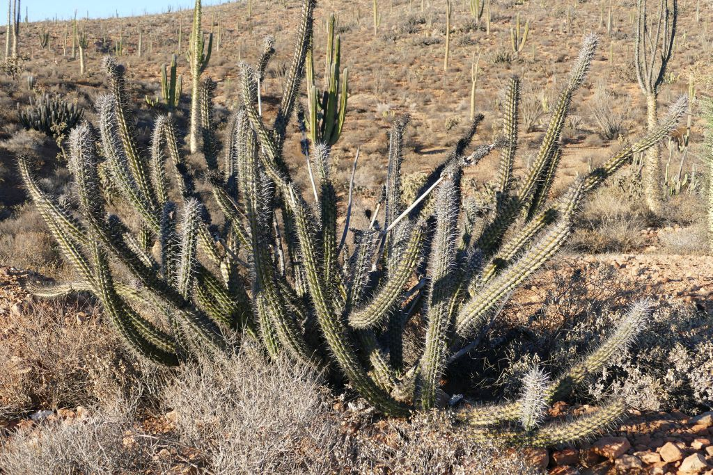 Kaktus Landschaft frei nach Esther Schlangengurken