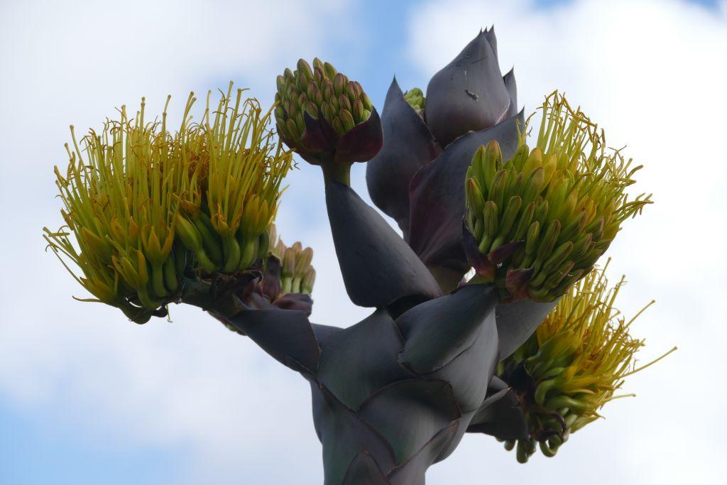 Punta Baja blühendes Yuccagewächs