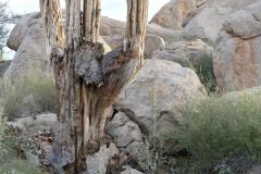 Verholzter Saguaro
