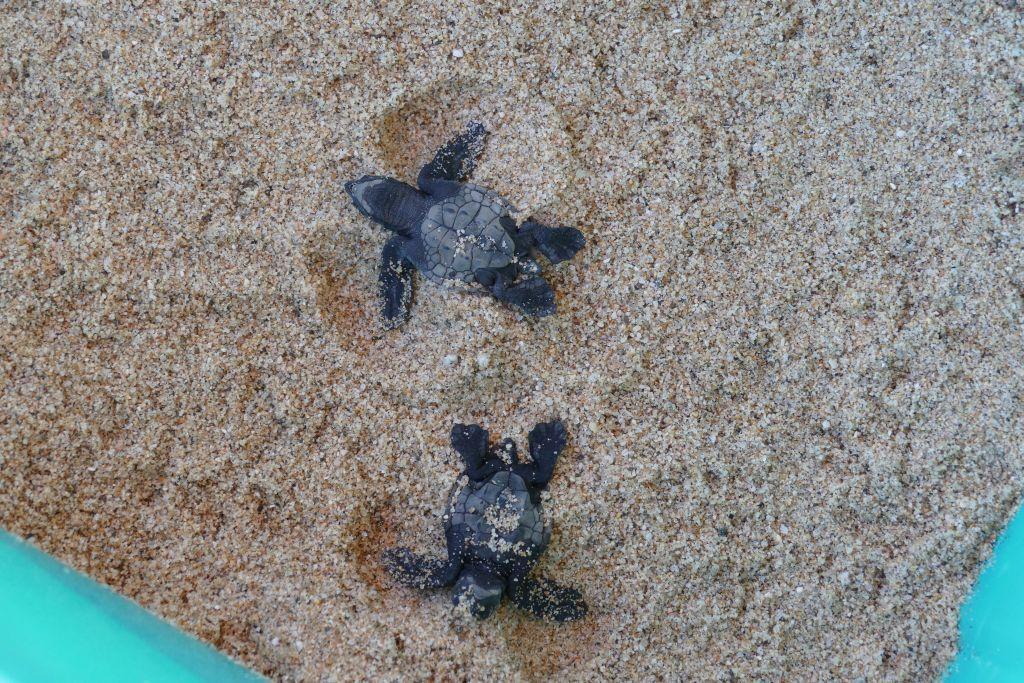 Baby Schildkröte 1