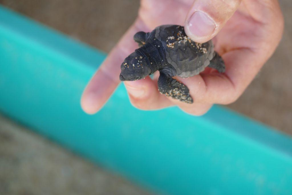 Baby Schildkröte 2