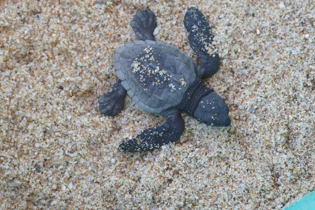 Baby Schildkröte 3