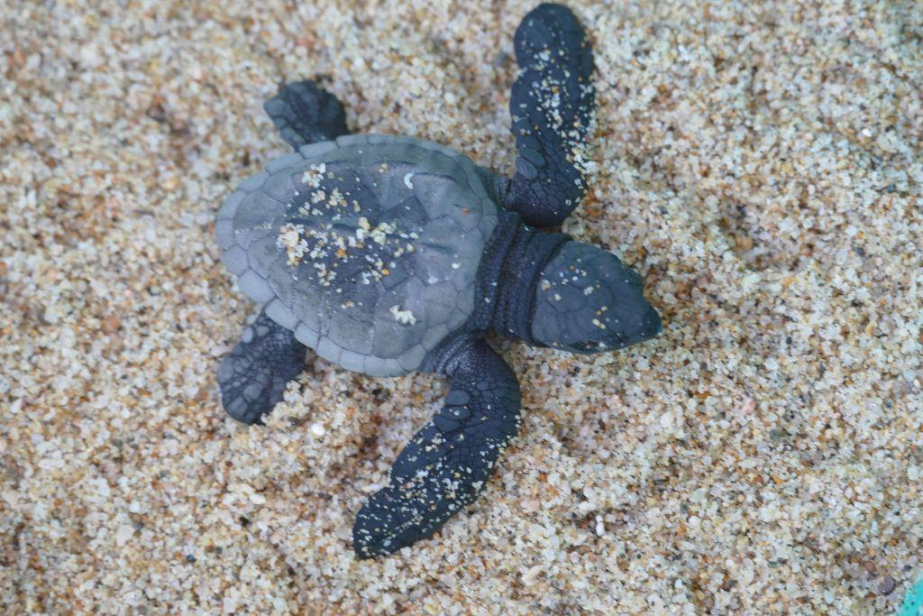 Baby Schildkröte 4