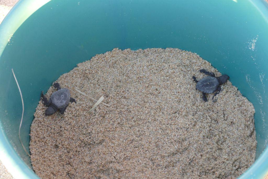 Baby Schildkröte 5