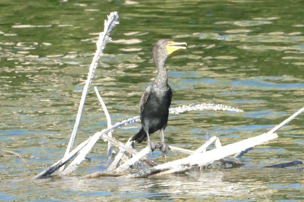 Wasservögel 6