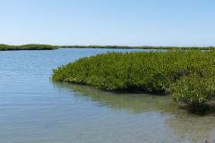 Mangroven 1