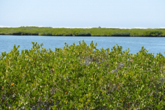 Mangroven 2