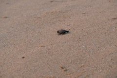 Schildkröte Richtung Meer 2