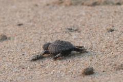 Schildkröte Richtung Meer 3