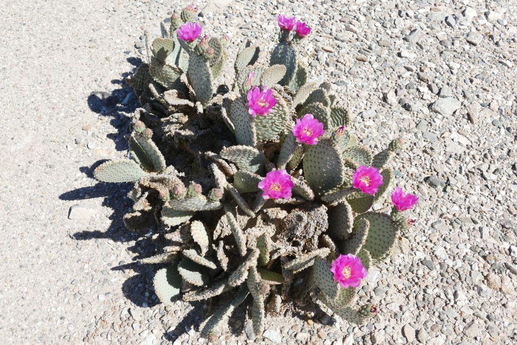 Blühender Kaktus 1